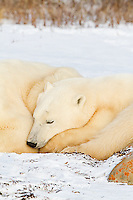 01874-13106 Polar Bears (Ursus maritimus) cub sleeping next to mother Churchill Wildlife Management Area, Churchill, MB