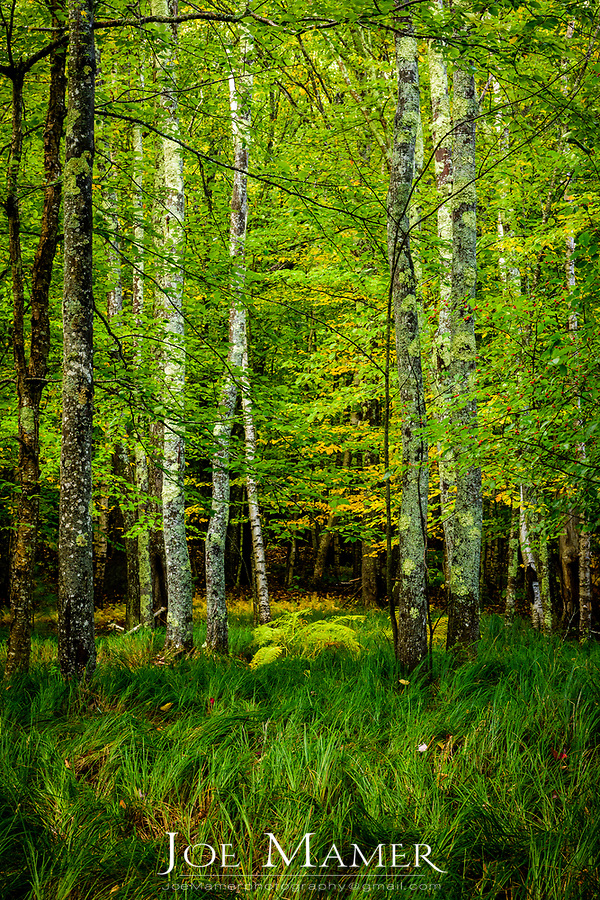Forest and sedges in Sieur de Monts at Acadia National Park.