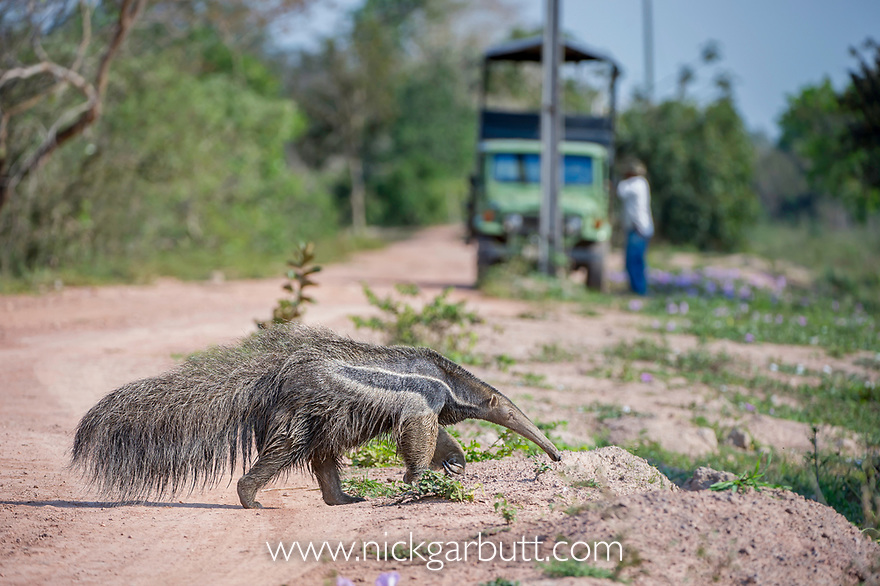 Adult giant anteater (Myrmecophaga tridactyla) crossing the Transpantaneira Highway. Northern Pantanal, Moto Grosso State, Brazil, South America.