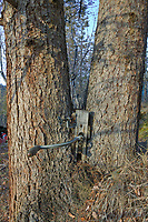 Relic washing machine part, overgrown in tree in historic mining community of Nolan, Alaska