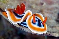 Magnificent Nudibranch, Chromodoris magnifica, Anilao, Batangas, Philippines, Pacific Ocean