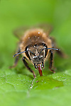Honey Bee, Apis mellifera, Kent UK, drinking water from raindrop on leaf, tongue