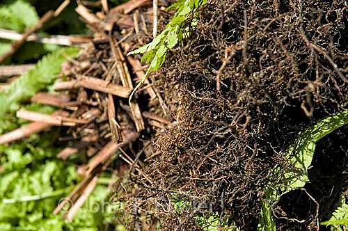 Ostrich fern root structure