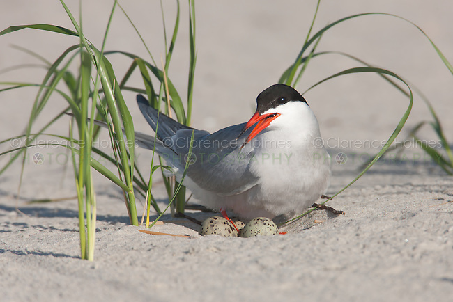 Common Tern (Sterna hirundo) sitting on nest and eggs, Nickerson Beach, Lido Beach, New York