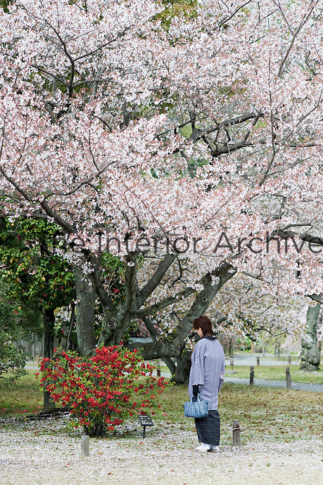 A woman, in traditional Japanese costume, contemplates the Chaenomeles speciosa 'Nakai' (Japanese Quince) under a flowering cherry blossom tree