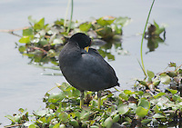 Andean Coot, Fulica ardesiaca, standing on the shore of San Pablo Lake, Ecuador