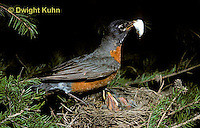 RO04-002z   American Robin - removing fecal pellet from young - Turdus migratorius