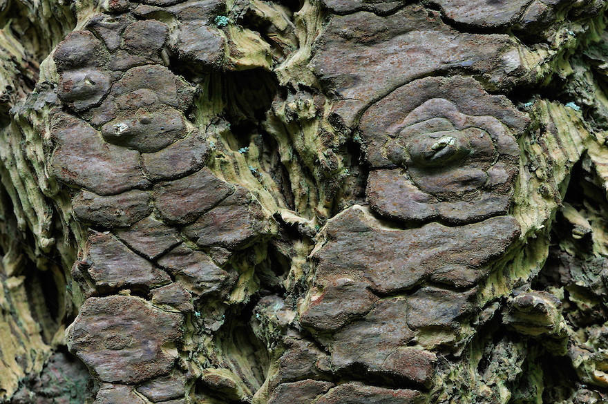 Tree bark, Mullerthal trail, Mullerthal, Luxembourg