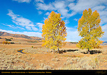Cottonwoods, Lamar Valley in Autumn, Yellowstone National Park, Wyoming
