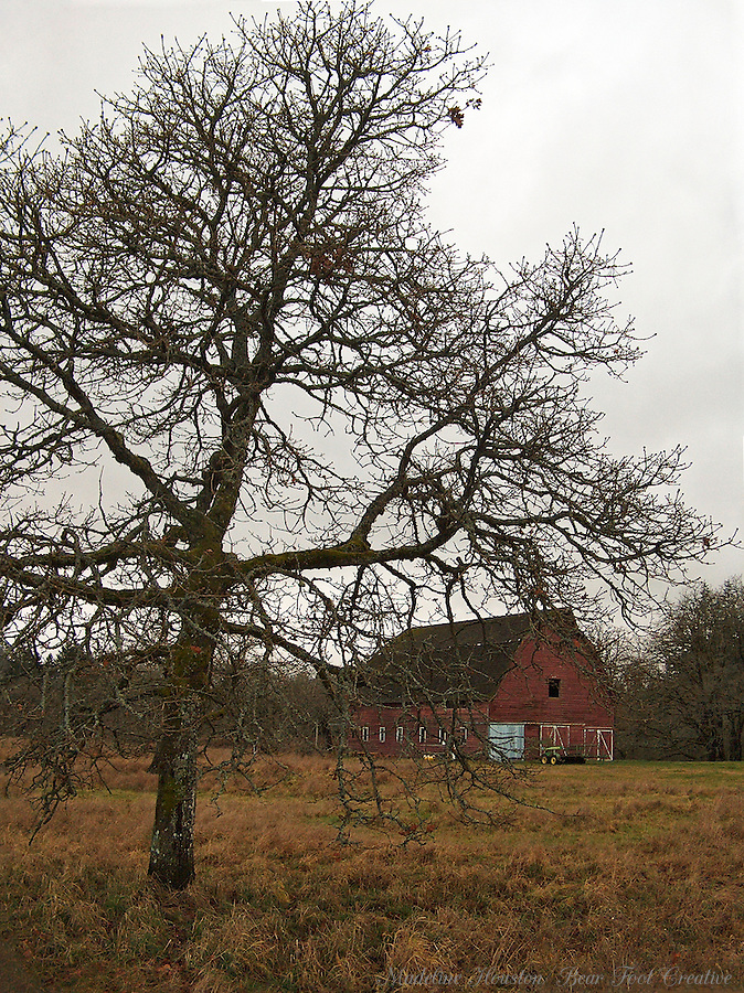 An oak tree grows in the foreground and the Miller-Brewer barn is in the background at Scatter Creek Wildlife Area, Rochester, Washington.