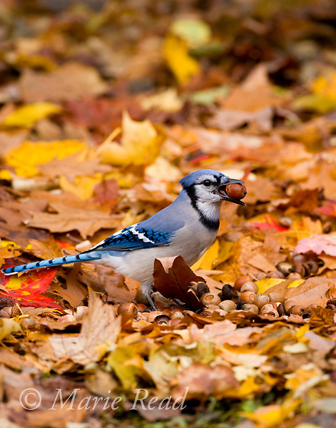 Blue Jay (Cyanocitta cristata) with an acorn: jays gather many acorns in autumn and hide them to provide food stores for the winter. New York, USA