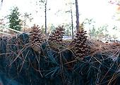 Pine cones in Camden, SC.