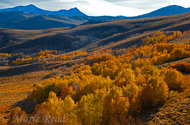 View from Conway Summit with colorful aspens in autumn, looking southwest toward Sierra Nevada,  Mono Lake Basin, California, USA
