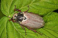 Großer Maikäfer, Melolontha pectoralis, Large cockchafer