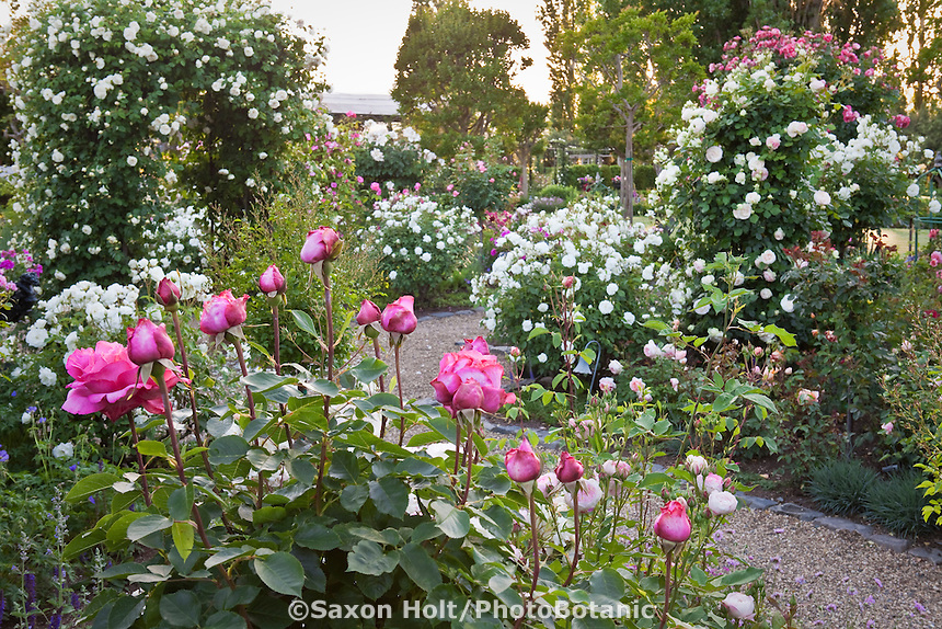 California wine country rose garden with pink and white flowers.