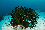 Tubastrea coral.