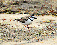 Wilson's plover in breeding plumage