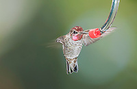 Male Anna's hummingbird, Calypte anna, at a backyard feeder in Alameda County, California
