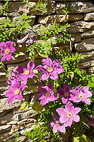 Pink clematis in English cottage garden in Swinbrook in The Cotswolds, Oxfordshire, UK