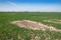 Poor wheat crop establishment due to wet conditions at drilling - Lincolnshire, April
