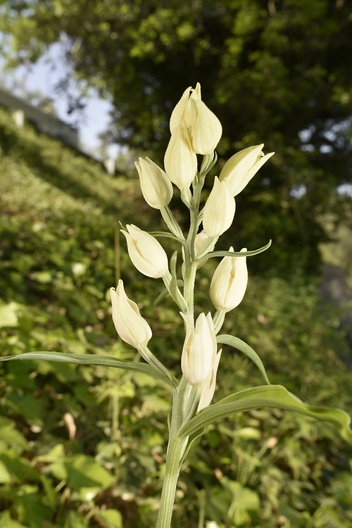 White Helleborine - Cephalanthera damasonium