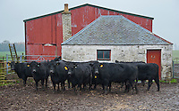 Aberdeen Angus cows and calves in a farmyard, Perth, Perthshire, Scotland.