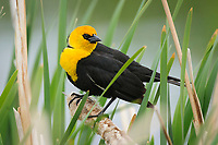 Adult male Yellow-headed Blackbird (Xanthocephalus xanthocephalus) in breeding plumage. Alberta, Canada. May.