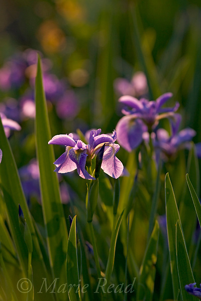 Larger Blue Flag  (Iris versicolor) (=Wild Iris) in flower, Ithaca, New York, USA