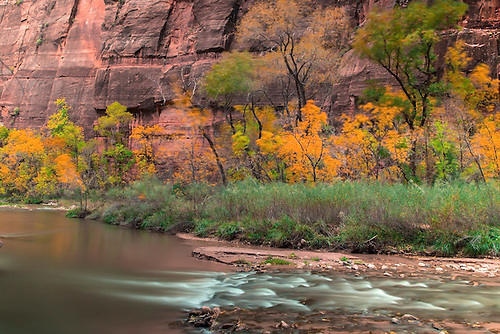 Fall Colors have arrived along the Virgin River at Zion National Park, Utah