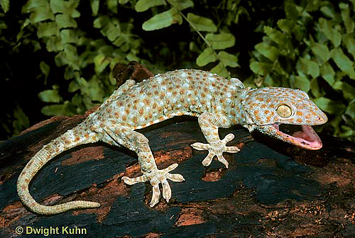 GK20-009x  Tokay Gecko - adult from south east Asia -  Gekko gecko