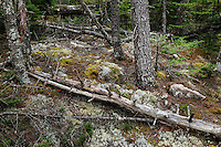 Fallen trees and new growth in a coastal forest, Acadia, Maine, USA