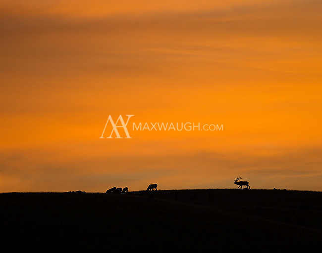 A bull elk looks after his harem at sunrise.
