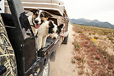 USA, Nevada, Wells, a few of the ranch dogs along for a ride at Mustang Monument, A sustainable luxury eco friendly resort and preserve for wild horses, Saving America's Mustangs Foundation
