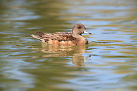 American Wigeon (Anas americana), female swimming in a pond at Floyd Lamb Park in Las Vegas, Nevada.