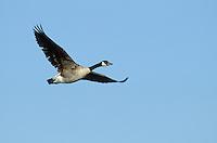 Kanadagans, im Flug, Flugbild, fliegend, Kanada-Gans, Gans, Branta canadensis, Canada goose