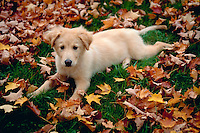An alert Golden Retriever puppy lies amongst autumn leaves.