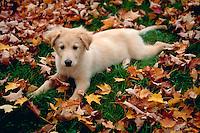 An alert Golden Retriever puppy lies amongst autumn leaves.