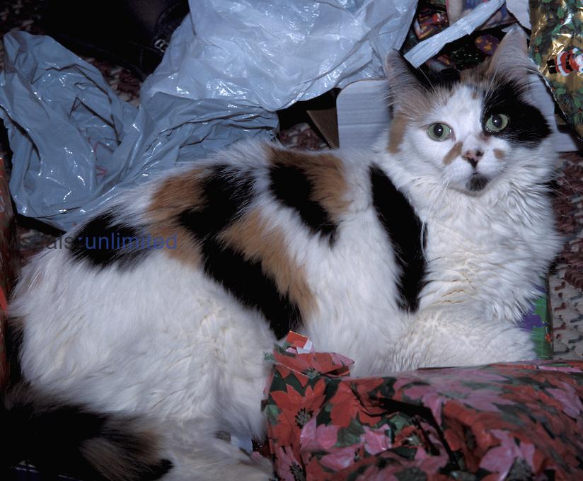 Calico cat (Felis domesticus)