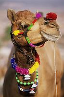 India, Rajasthan, Pushkar: Camel portrait at Pushkar camel festival | Indien, Rajasthan, Pushkar: Dromedar-Portrait auf dem Camel Festival