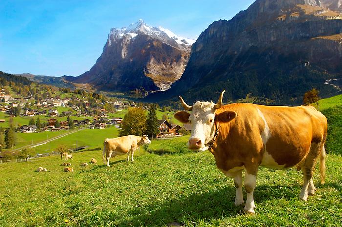 Milk Cow on Alpine Pasture above Grinderwald - Swiss Alps - Switzerland