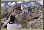 Wildlife photographer and Mountain Goat on Mt Evans, Colorado.<br />