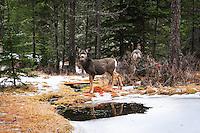 Montana mule deer pausing to take a drink in a winter landscape