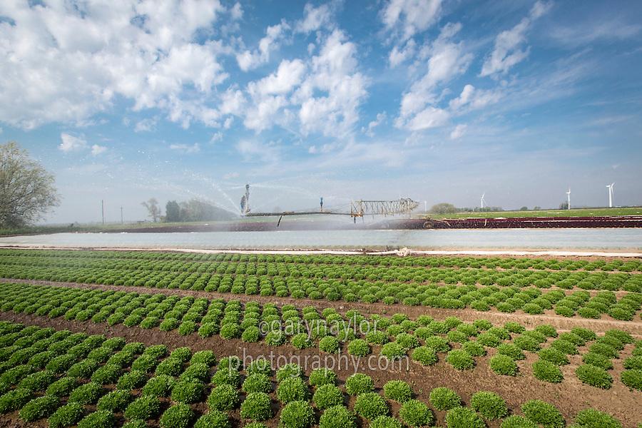 Irrigating salads - Lincolnshire, May