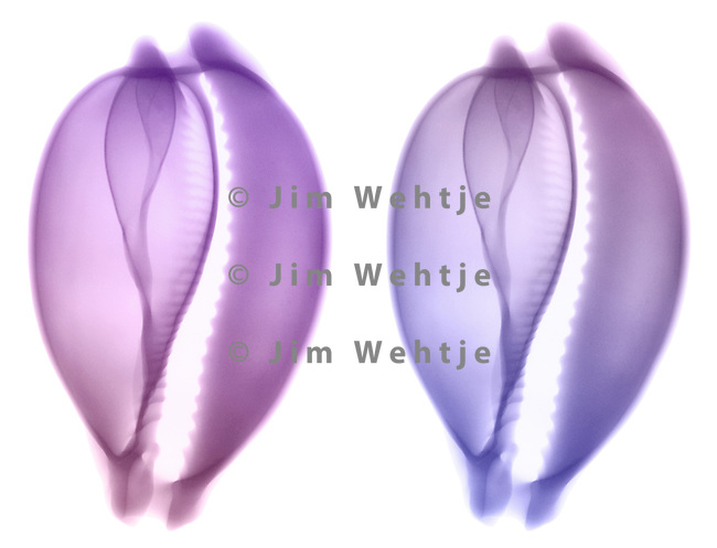 X-ray image of a camel cowrie seashell (color on white) by Jim Wehtje, specialist in x-ray art and design images.