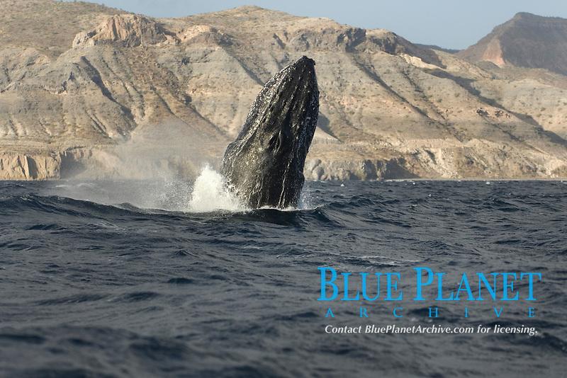 Humpback whale (megaptera novaeangliae) The emerging head of a breaching humpback whale.Gulf of California., Baja California, Mexico, Pacific Ocean