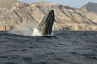 Humpback whale (megaptera novaeangliae) The emerging head of a breaching humpback whale.Gulf of California., Baja California, Mexico, Pacific Ocean