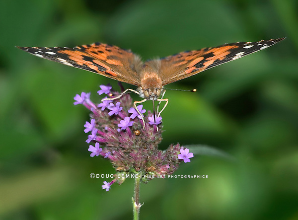 Butterfly On Brazilian Verbena, American Painted Lady, Vanessa virginiensis