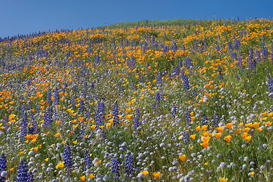 Lupine and California poppy flowers in bloom.