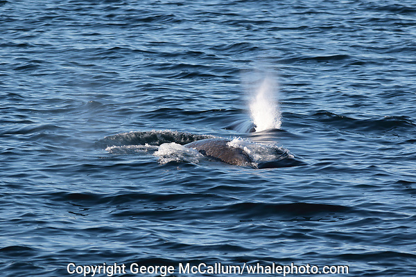Bowhead whale,  Balaena mysticetus, Mother and recently born calf from Critically endangered Barents sea population. Barents sea / Arctic Ocean, Franz Josefs Land, Russia