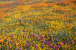 Antelope Valley, California: California Poppies, California coreopsis and Owl's Clover blooming in fields near Lancaster, Los Angeles County, Mojave Desert